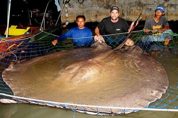 une raie geante d'eau douce de 600kg