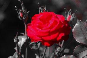 la rose de mon jardin..