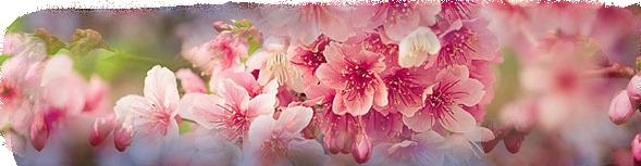 ♫ Sakura Sakura ♫