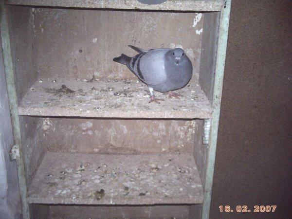 le pigeon de mon fils