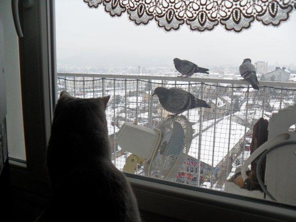 Daisy l'espionne et  les  pigeons