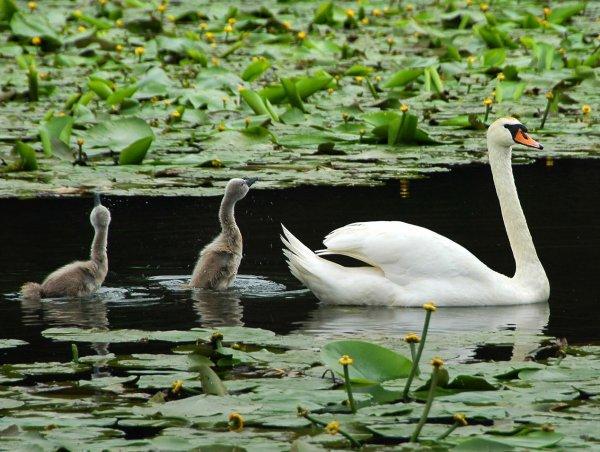 Cygne et ses petits