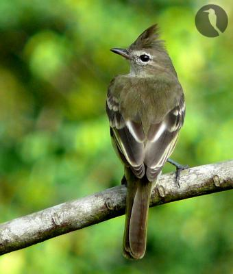 El nie ventre jaune le paradis vert for Petit oiseau avec houpette