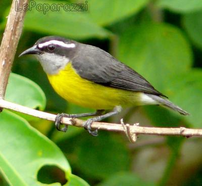 Sucrier ventre jaune le paradis vert for Oiseau ventre jaune