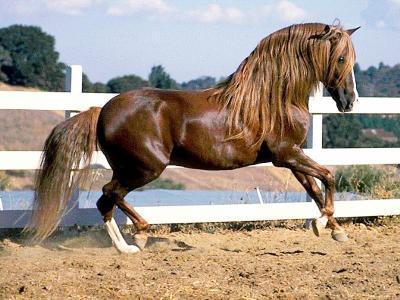 cheval espagnol expression