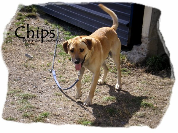 """Chips: Berger croise labrador..."""