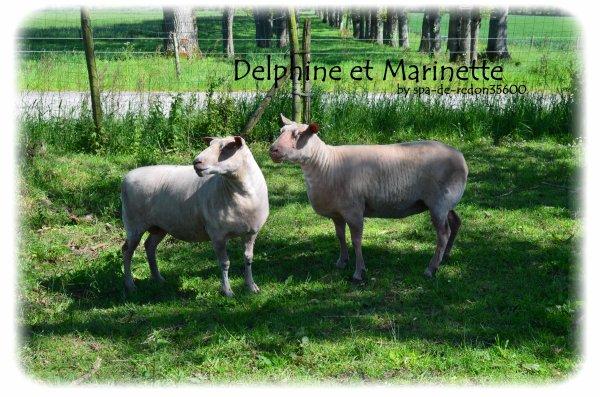 """""""Bêh, Delphine et Marinette: Moutons et Brebis..."""""""