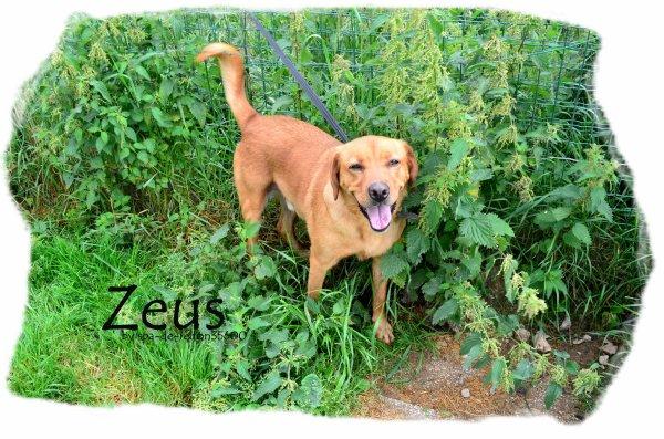 """""""Zeus: Labrador marron..."""""""