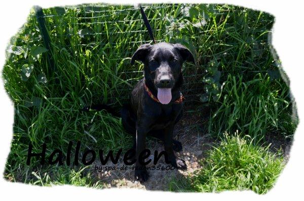 """"""" Halloween: Croisée labrador noire ... """""""