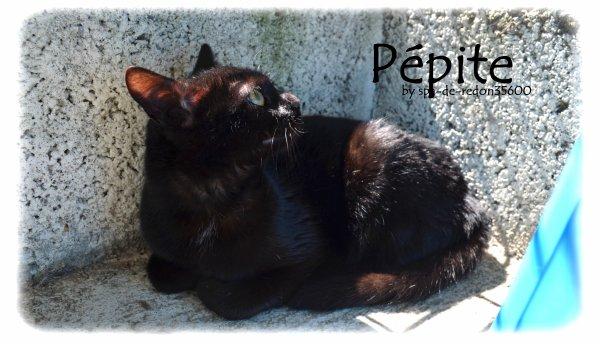 """"""" Pépite: Chatte européenne noire ... """""""