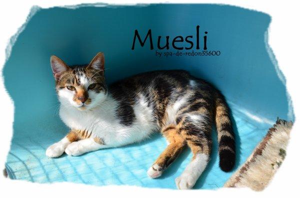 """"""" Muesli: Chat européen marron et blanc ... """""""