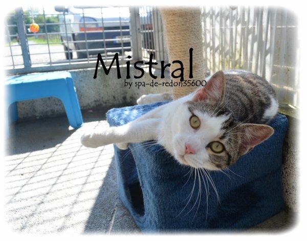 """"""" Mistral: Chat européen gris tabby et blanc ... """""""
