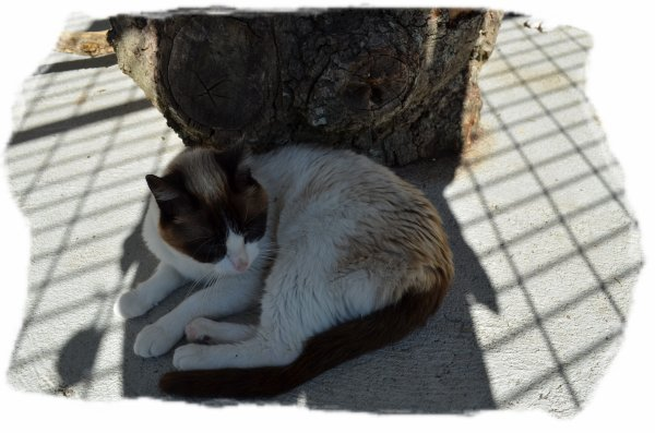 """ Brownie: Chat européen seal point ... """