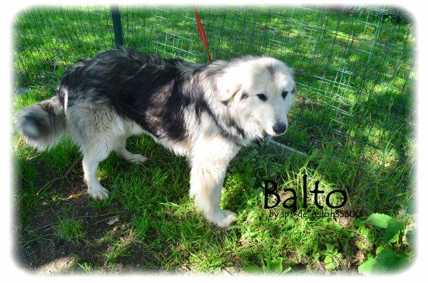 """"""" Balto: Croisé montagne des Pyrénées blanc et gris ... """""""