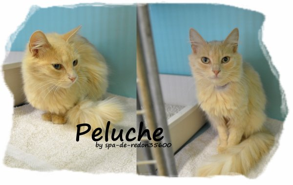 """ Peluche: Chatte persan roux .. """