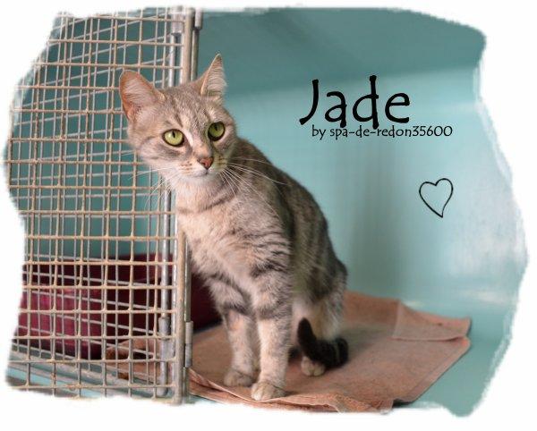 """ Jade: Chatte européenne grise tabby .. """