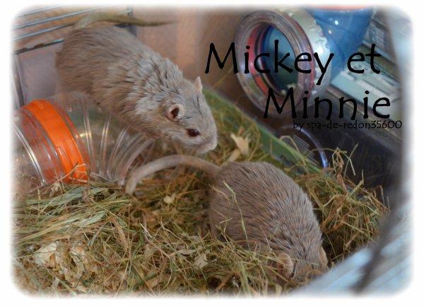 """ Minnie et Mickey: Gerbilles grises ...  """