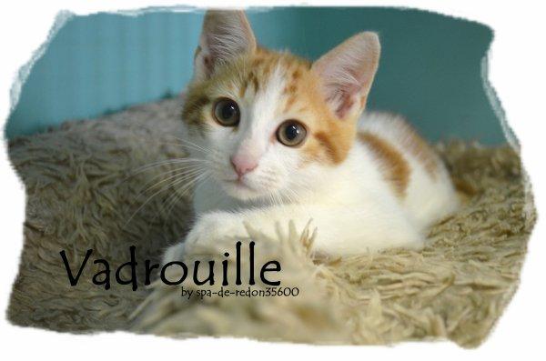 """"""" Vadrouille: Chat européen roux et blanc .. """""""