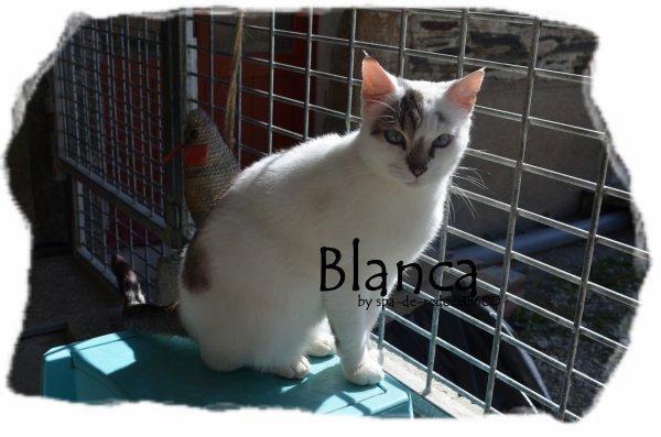 """""""Blanca: Chatte européenne grise et blanche .. """""""