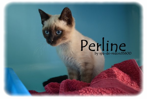"""Perline: Siamoise seal point  .. """