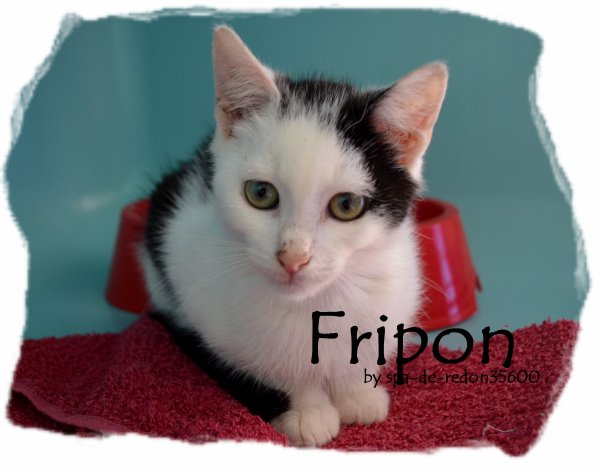 """Fripon: Européen, noir et blanc .."""""""