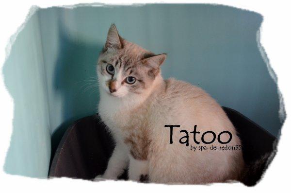 """Tatoo: Croisé siamois tigré gris .. """