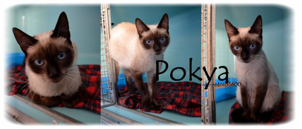 """ Pokya: Chatte Siamoise .."""