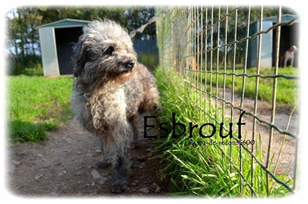 """Esbrouf: Caniche gris ... """