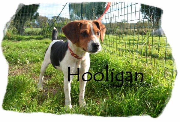"""""""Hooligan: Beagle .."""""""