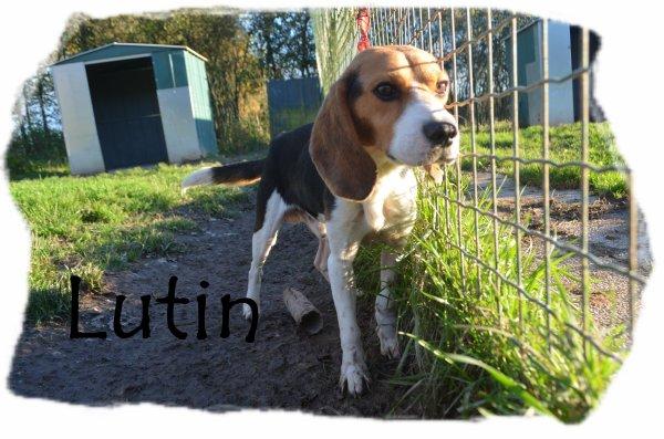 """Lutin: Beagle .."""