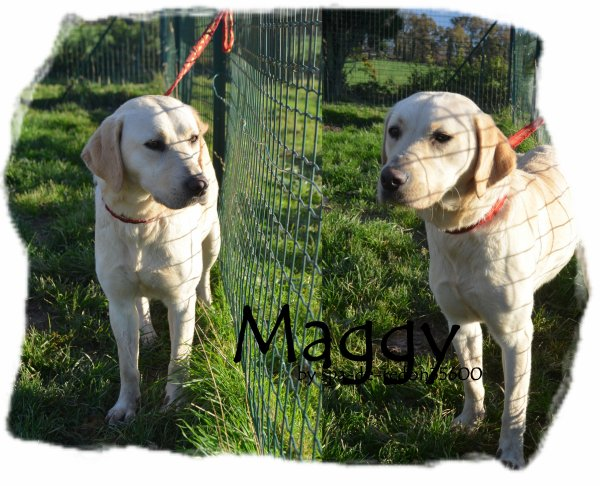 """Maggy: Labrador sable .. """