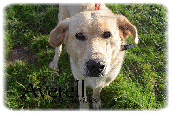 """""""Averell: Croisé labrador sable .. """""""
