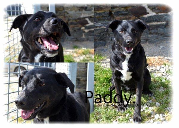 """""""Paddy: Croisé labrador noir et blanc ... """""""