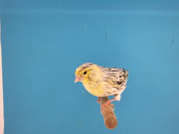 Jeune topaze mosaïque jaune