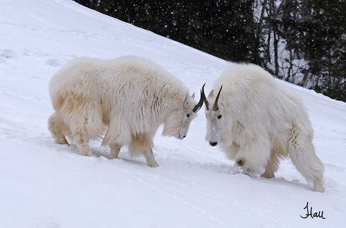 Play Time with Mountain Goats - SchoolandUniversity