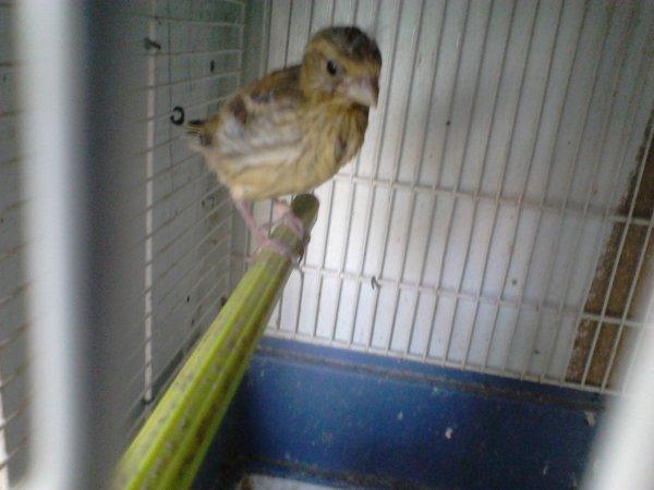 petit hybride serin avec canaris