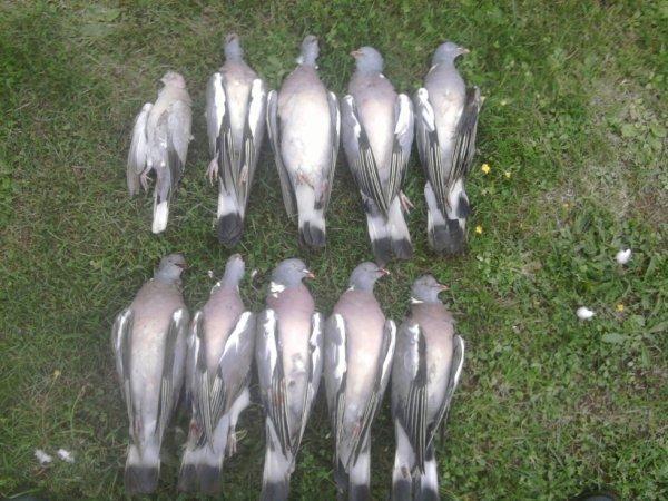 ouverture du pigeon a deux fusils