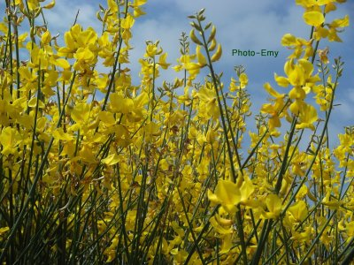 Fleurs jaunes.