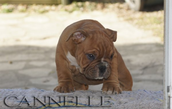 Cannelle, femelle exotic bully disponible ..
