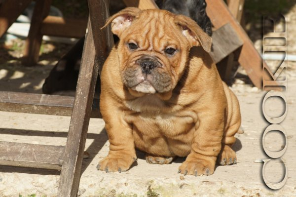 Cookie, femelle exotic bully disponible ..