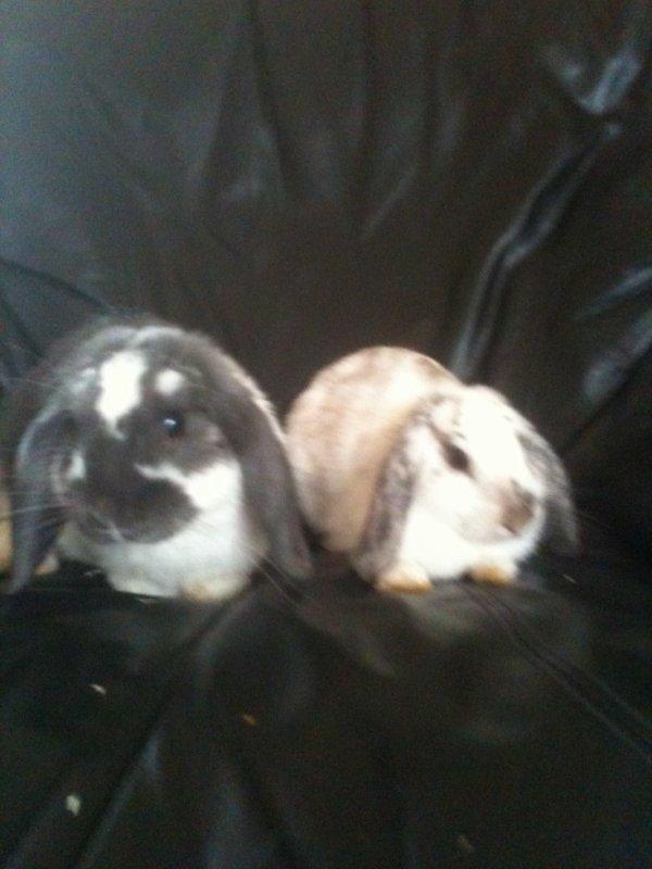 mes lapins belier nain