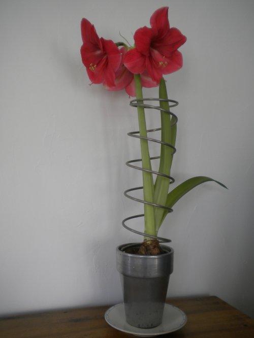 amaryllis epoque