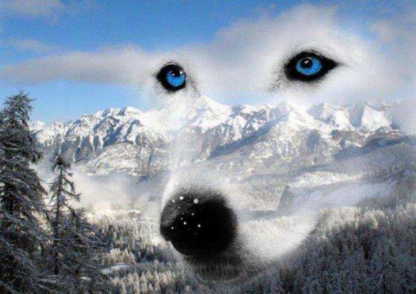 le regard du loup poser sur le monde