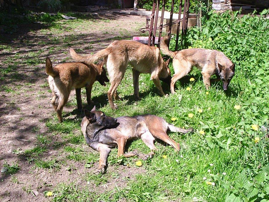 Blog de Nicole Debeer le berger malinois,et BA. ainsi que les jacks.
