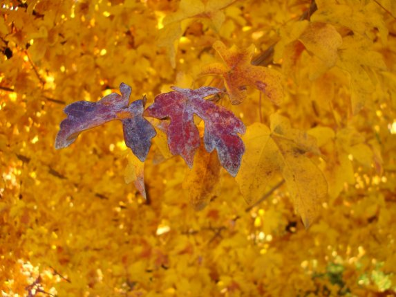 667. Golden Leaves