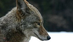 """LE COYOTE """"ANIMAL"""""""