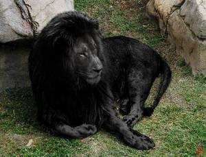 superbe lion noir