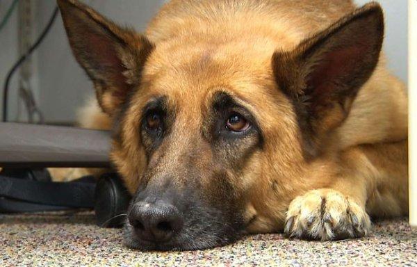 Un chien sauve son maître d'un indendie mais meurt dans les flammes