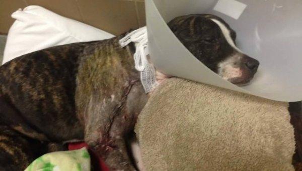 Découvert attaché à des rails de chemin de fer, un jeune pitbull est sauvé juste à temps.