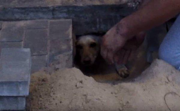 Un homme entend des aboiements sous le trottoir, et y découvre une chienne enterrée vivante.